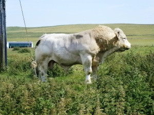 Cattle farming is big on the Orkneys - as are some of the live stock. Anyone know what this breed is chap is?